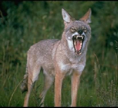 Growling Coyote