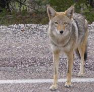New Coyote on the Block